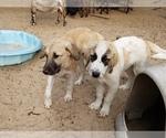 Small #9 Anatolian Shepherd-Maremma Sheepdog Mix