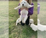 Puppy 0 Great Pyrenees