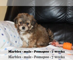 Pomeranian-Poodle (Toy) Mix Puppy for sale in CLARKRANGE, TN, USA