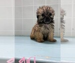 Small #3 Poodle (Toy)-Yorkshire Terrier Mix