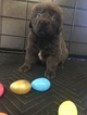 Newfoundland Puppy For Sale in MURFREESBORO, Tennessee,