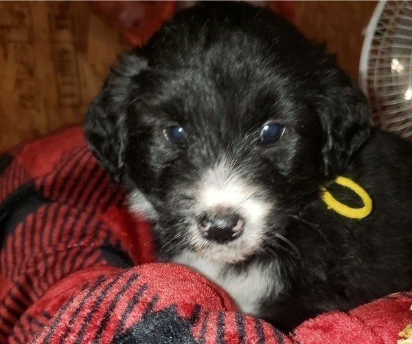 Medium Photo #3 Aussiedoodle Puppy For Sale in DERBY, IA, USA