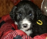 Small Photo #3 Aussiedoodle Puppy For Sale in DERBY, IA, USA