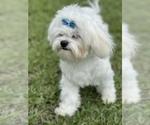 Small Photo #4 Maltese Puppy For Sale in BOCA RATON, FL, USA