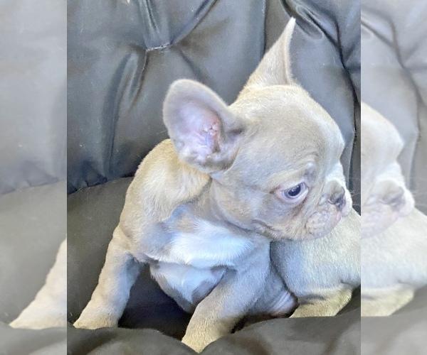 Medium Photo #1 French Bulldog Puppy For Sale in LOX, FL, USA