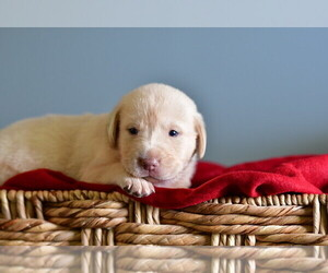 Labrador Retriever Puppy for Sale in OSTEEN, Florida USA