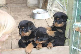Rottweiler Puppy For Sale in COLUMBIA, SC