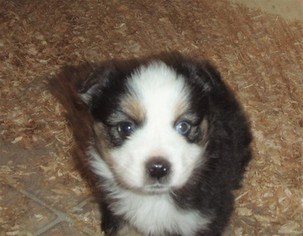 Miniature Australian Shepherd Puppy for sale in EATONVILLE, WA, USA