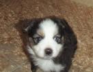 Miniature Australian Shepherd Puppy For Sale in EATONVILLE, WA, USA