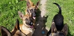 Belgian Malinois Puppy For Sale in SANTA CRUZ, California,