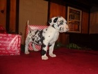 Great Dane Puppy For Sale in MILLERSBURG, PA