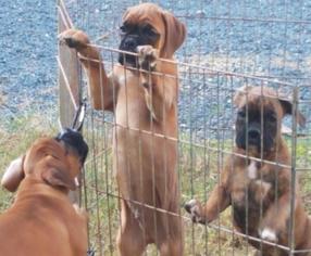 Boxer Puppy For Sale in CONCORD, VA, USA