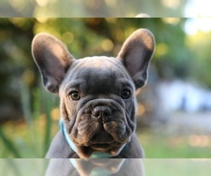 French Bulldog Puppy for Sale in BROOKLYN, New York USA