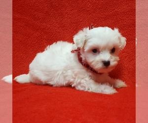 Coton de Tulear Puppy for sale in BUFFALO, MO, USA