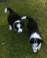 Border Collie Puppy For Sale in MOBILE, AL