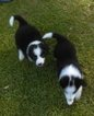 Border Collie Puppy For Sale in MOBILE, AL,