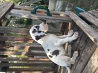Great Dane Puppy For Sale in ADEL, GA,