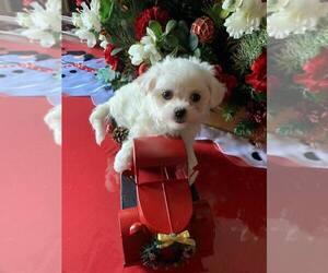 Maltese Puppy for sale in CHEVRON, CA, USA