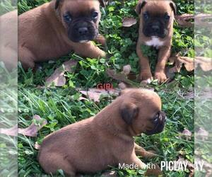 Boxer Puppy for Sale in SHELL KNOB, Missouri USA