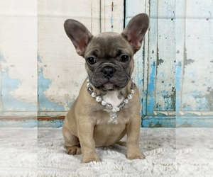 French Bulldog Puppy for sale in WEATHERFORD, TX, USA