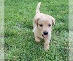 Puppy 2 Labrador Retriever