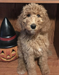 Poodle (Standard) Puppy For Sale in MOUNT VERNON, OH