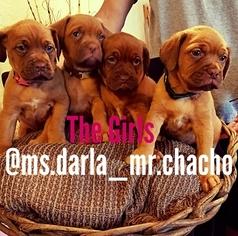 Dogue de Bordeaux Puppy For Sale in PICO RIVERA, CA