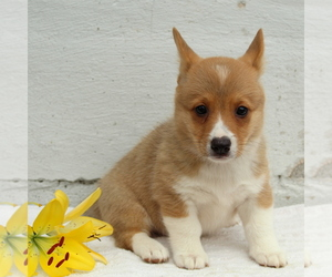 Pembroke Welsh Corgi Puppy for sale in MORGANTOWN, PA, USA