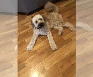 Saint Berdoodle Dog for Adoption in SPRINGFIELD, Missouri USA