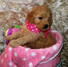 Goldendoodle Puppy for sale in LAKE CHARLES, LA, USA