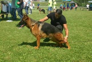 German Shepherd Dog Puppy for sale in TEMPLE, TX, USA