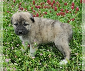 Anatolian Shepherd-Great Pyrenees Mix Puppy for Sale in COMMERCE, Texas USA