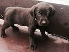 Puppy 1 Labrador Retriever