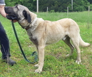 Father of the Kangal Dog puppies born on 07/11/2019