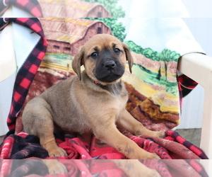 Boxador Puppy for sale in SHILOH, OH, USA