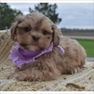 Lhasa Apso Puppy For Sale in TUCSON, AZ