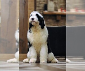 Old English Sheepdog Puppy for Sale in STANLEY, Virginia USA