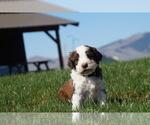 Puppy 1 Springerdoodle