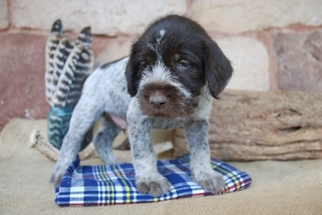 View Ad Wirehaired Pointing Griffon Puppy For Near