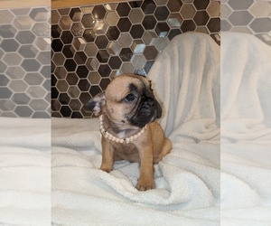 French Bulldog Puppy for Sale in KEARNEY, Nebraska USA