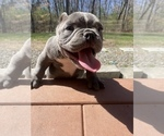Small Photo #3 American Bully-American Pit Bull Terrier Mix Puppy For Sale in DRACUT, MA, USA