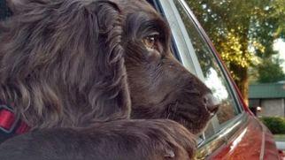Boykin Spaniel Puppy For Sale in LEXINGTON, SC, USA