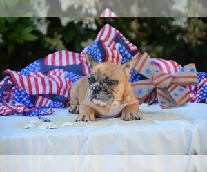 French Bulldog Puppy for sale in CAMARILLO, CA, USA