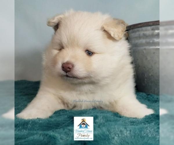 PuppyFinder com - View Ad: Photo #21 of Listing Pomeranian