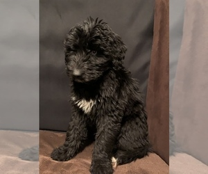 Labradoodle-Poodle (Standard) Mix Puppy for Sale in LONETREE, Colorado USA