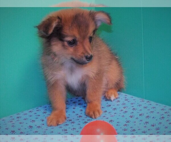 Full screen Photo #6 Dameranian Puppy For Sale in PATERSON, NJ, USA