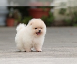 Pomeranian Puppy for sale in CINCINNATI, OH, USA