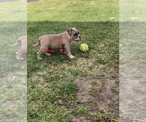 American Bully Puppy for sale in ONTARIO, CA, USA