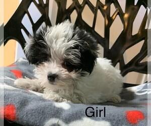 Morkie Puppy for sale in CLARE, IL, USA