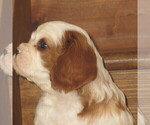 Puppy 5 Cavalier King Charles Spaniel